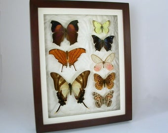 Butterfly collection - Real Framed Insects