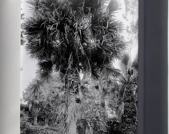 Canvas 16x24; A Big Palm Tree In A Los Angeles Park, Ca.1920 (-2382)