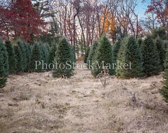 Christmas Tree Farm, New England Evergreen, Photography Backdrop, Holiday backdrop, Christmas Backdrop, Tree Farm, Photoshop Background