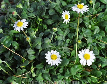 Bellium minutum, Miniature Daisy for Miniature Garden, Fairy Garden