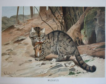 old print of a Wild Cat 1895