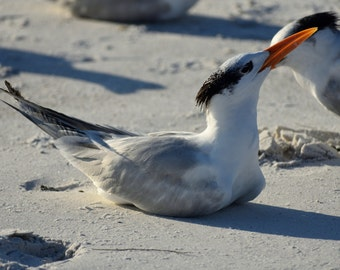 Royal Terns Photograph, Beach Bird Photo, Beach Photo, Beach Bird Art, Coastal Art