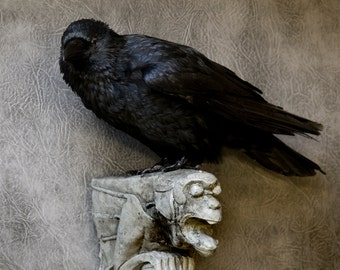 Taxidermy Carrion Crow on Gargoyle