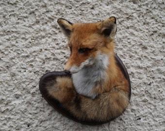 Red fox head + tail taxidermy