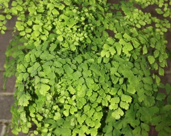 Maidenhair Fern aka Adiantum Live Plant