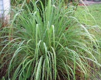 Blue-Green Lemon Grass Seeds/Cymbopogon flexuosus/Perennial   30+