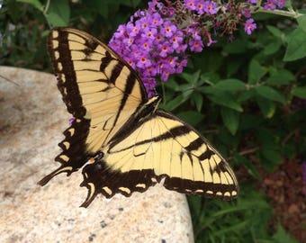 Original Fine Art Photography Yellow Butterfly Photo Swallowtail Butterfly Nature Photo Garden Wall Decor  Housewarming Gift Birthday Gift
