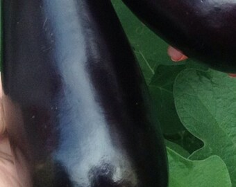 Homegrown Organic Eggplant Seeds - Free Shipping