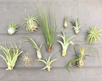"15 Assorted ""TLC"" Tillandsia Air Plants - Seconds Quality, Wholesale Prices"