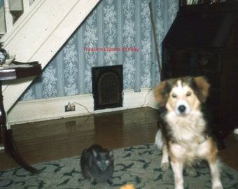 35mm Slide 1959 Dog & Cat Pose Together In House W/ Table, Wires, Stairs, Hutch