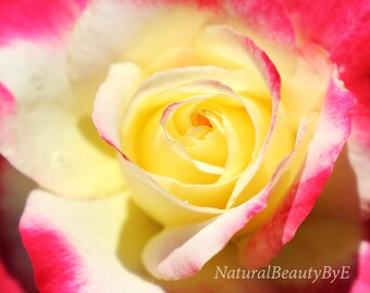 Pink and yellow rose, close up, macro, flower photography, nature photography, floral wall art, nature, fine art, print