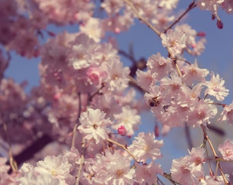 Spring Cherry Blossom Bee Photo Fine Art Print