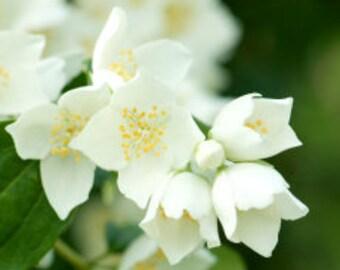 Jasmine Fragrant Oil   Phthalate Free