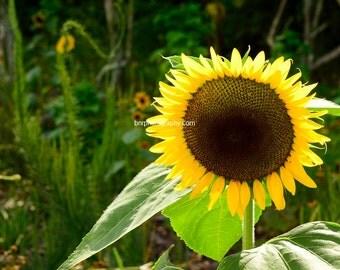 Digital Download,Sunflower in full bloom
