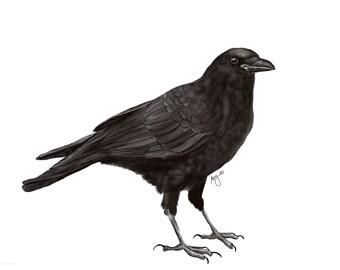 Corvus brachyrhynchos - American Crow