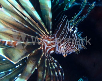 Fine Art Lionfish Digital Image (Rights Reserved). Stunning But Deadly Lionfish In The Caribbean