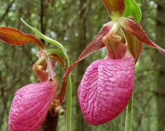 Pink Lady Slipper super rare double bloom flower very very limited supply Cypripedium acaule