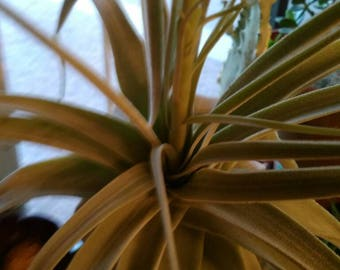 Tillandsia fertilizer  6 month/ year/ 2 year supply with instructions