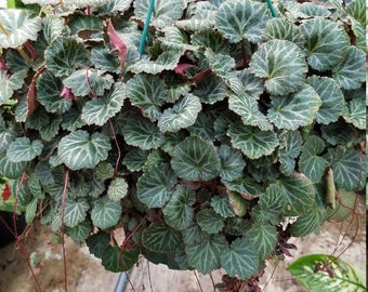 Strawberry Begonia Cuttings (5)
