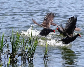 Gallinules chasing each other