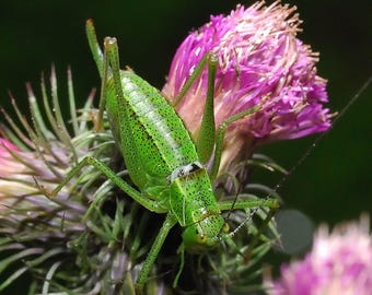 A4 Macro Photo Print of Grasshopper. Macro Photography. Nature and Wildlife Photography