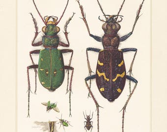 Vintage lithograph of heath tiger beetle, green tiger beetle  from 1956