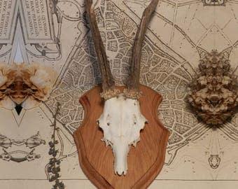 Vintage, deer taxidermy hunting trophy
