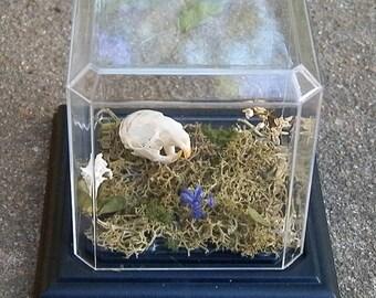 Custom Real Rat Skull Display