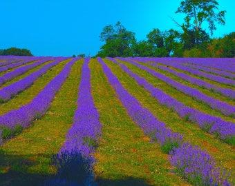 Lavender Field Coulsden Surrey  Print    05019-0015