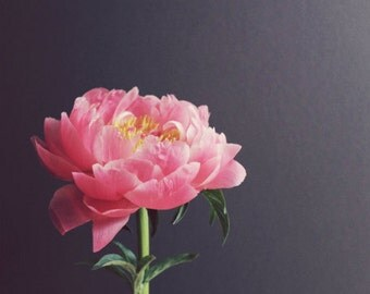 Peony flower photography gray pink flower still life rustic modern minimal flower art print - Peony Eight