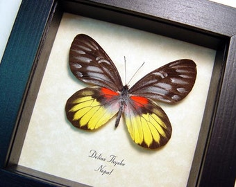 Rare Real Framed Delias Thysbe The Redbreast Jezebel Butterfly 8412