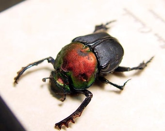 Real Framed Rare Bolbites Onitoides Male Scarab Dung Beetle Shadowbox Display 7576