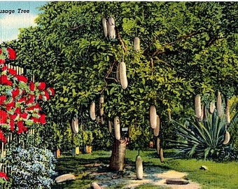 Vintage Florida Postcard - A Sausage Tree bearing Fruit (Unused)