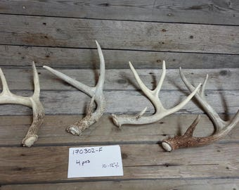 Bulk Lot of 4 Small Shed Whitetail and Mule Deer  Antlers- Lot No. 170302-F