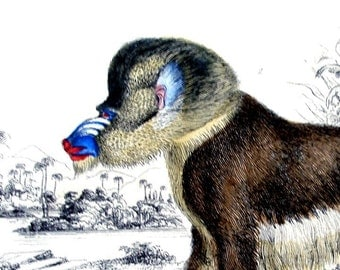 1840s ANTIQUE MANDRILL PRINT, hand colored engraving, Baboon,monkey,animal,Drill,fine art,brown,beige,blue,red,white,ivory,tan,black,detail