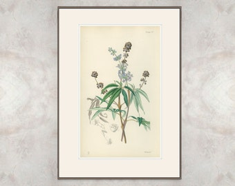 Chasteberry, Chaste Tree, Rare Antique Hand Colored Botanical Book Plate, Winter Flora of the Riviera, 1871/14