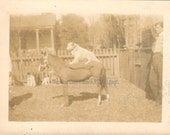 Ride Em Cow Dog Vintage Photo of a Dog Riding on a Horses Back