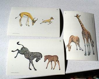 3 Vintage 1960s Flash Cards Of African Animals Zebra Giraffe Gazelle