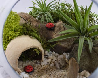 Air Plant Terrarium Kit by Midnight Blossom - DIY Mini landscape Featuring Live Tillandsia, Handmade Polymer Clay Ladybugs, Driftwood + more