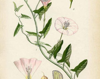 FIELD BINDWEED Antique 1905 Botanical Book Plate 104 Convolvulus Arvensis