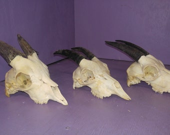 1 Real animal bone goat skull taxidermy horn teeth antler head part piece sheep man cave