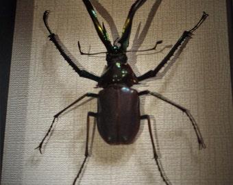 Darwin's Beetle