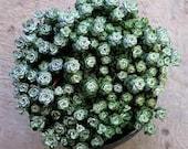 Succulent Plant - Sedum Capo Blanco