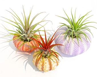 Air Plant KIT - Includes: 3 Tillandsia Live Air Plants + 3 Sea Urchin Shells + Gift Box * Genuine Sea Shell Planters. Hand Picked. Terrarium