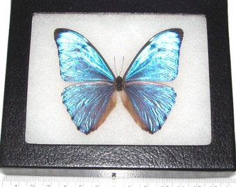 Real framed butterfly blue Morpho aurora Peru