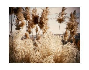 Nature Photo, Fine Art Floral Photograph, Flame Grass