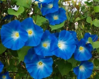 AIP) HEAVENLY BLUE Morning Glory~Seeds!~~~~Turquoise Jewels!