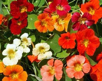 ANATT) TOM THUMB Mix Nasturtium~Seeds!!~~~~Short but Full of Color!