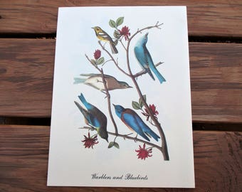 Warblers and Bluebirds Audubon Print