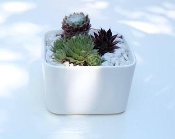 Succulent garden in white ceramic pot